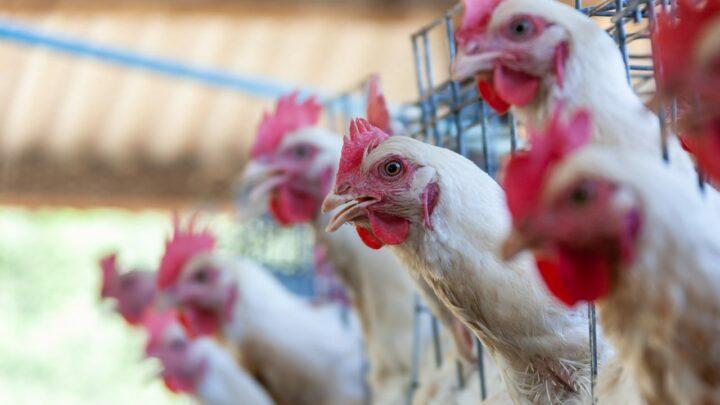 Crescem as exportações de carne de frango