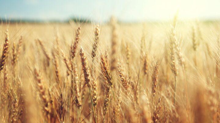 Cultivar de trigo bate recorde de produtividade