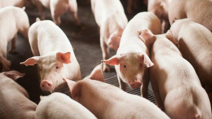 Exportações de carne suína mantém alta