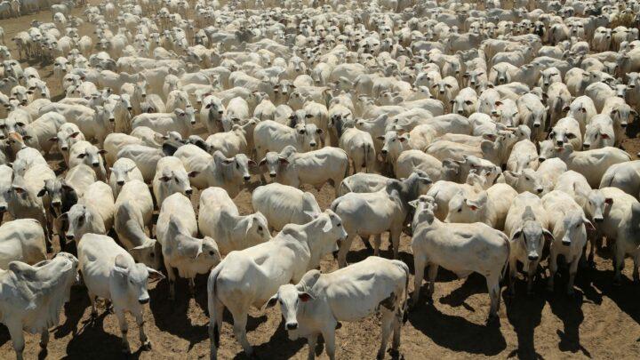 Fazenda impressiona com a oferta de 1021 touros