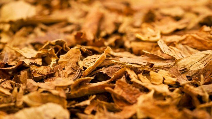 Fazer certo também é foco na produção do Tabaco (2)