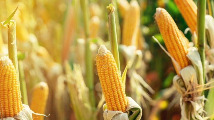 Mais milho na próxima safra