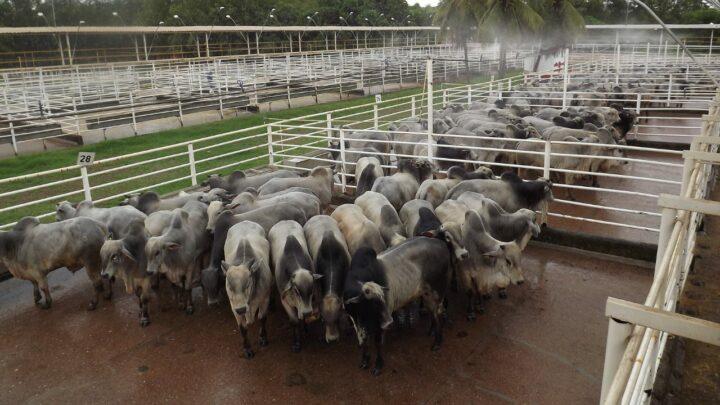 Preços da arroba do boi caem com embargo