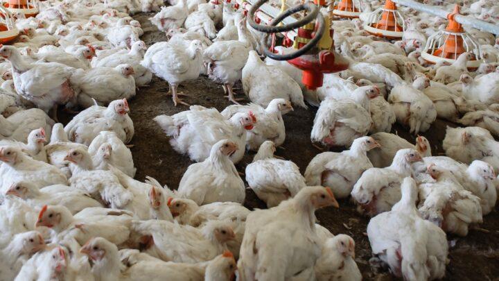 Exportações de carne bovina não caem