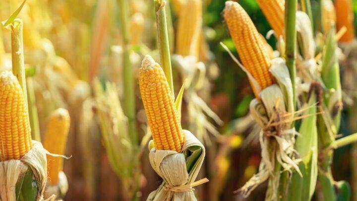 IHARA lança herbicida com tecnologia inovadora para o manejo eficiente no cultivo do milho