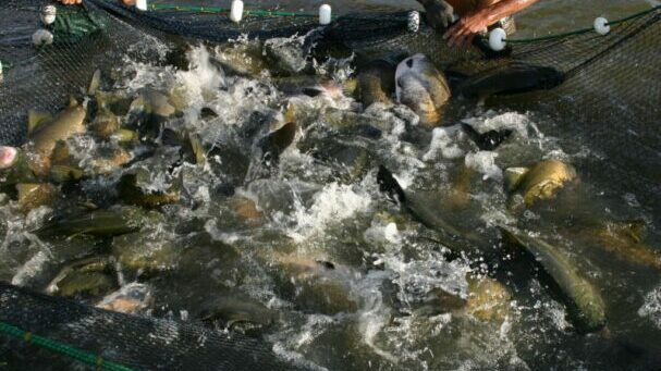 Tecnologia para reuso de água na piscicultura